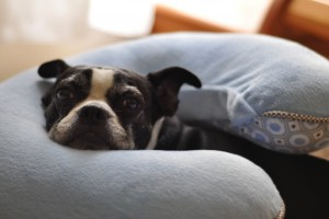 Boston Terrier breastfeeding pillow coping techniques